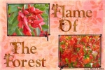 F is for Flame Of The Forest