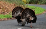 Wild Turkeys bringing Spring to Valmont Drive