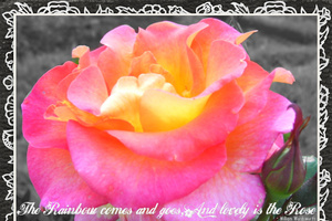 Sat.CC 5/30 - Rainbow Rose