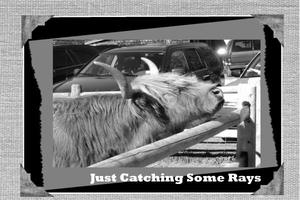 Saturday_30May_BW_Challenge_Cattle