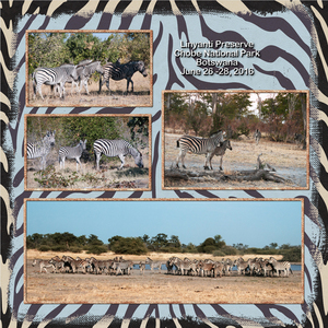 Zebras on the Move - right