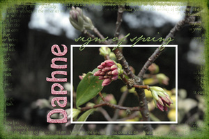 Daphne- signs of spring