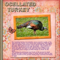 Saturday 2-18-12 Challenge -- Ocellated Turkey
