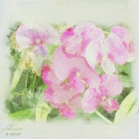Sweet Pea Background Paper