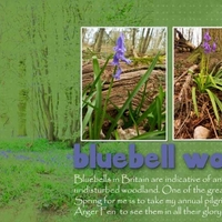 HNC  18/4/12 bluebell wood