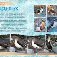 Blue-Footed Boobies - Freebie challenge, 1/22/13