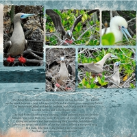 Red-Footed Boobies, left