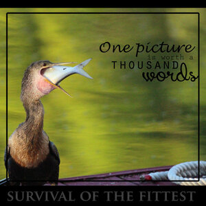 large-photo-anhinga.jpg