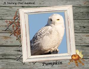 Snowy Owl Named Pumpkin