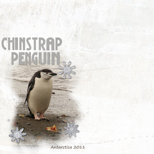 Chinstrap Penguin - Layout #11