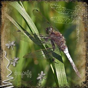 Dragonfly - Bingo 24